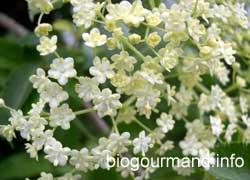 Sirop De Fleurs De Sureau Blog Recettes Bio Cuisine Bio Sans
